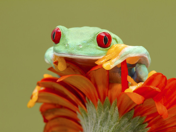 Red Eye Tree Frog http://500px.com/ValSaxby http://500px.com/photo/3499534