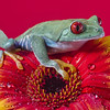 Red Eyed Tree Frog http://500px.com/ValSaxby http://500px.com/photo/9226371