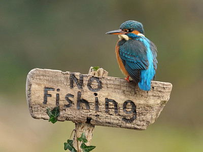 Kingfisher on Sign http://500px.com/DeanMason http://500px.com/photo/4826527