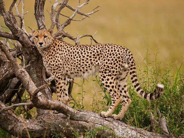 Cheetah on the hunt http://500px.com/KimCannon http://500px.com/photo/20320141