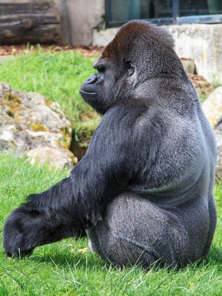 """Gorille """"Dos argenté"""" http://500px.com/Fancy73 http://500px.com/photo/8169032"""